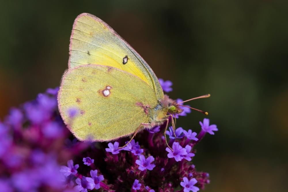 yellowpinkbutterflymacro
